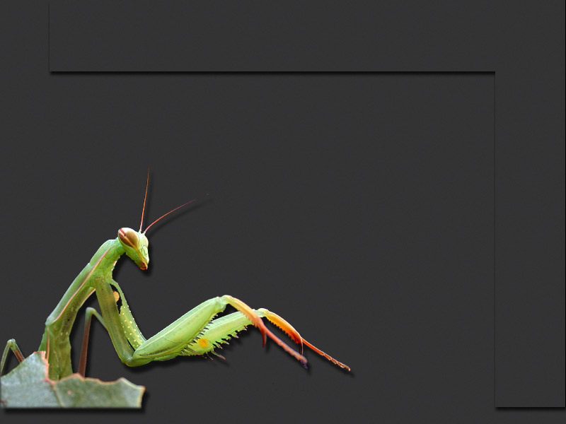 Photo de mante religieuse, Mantis religiosa