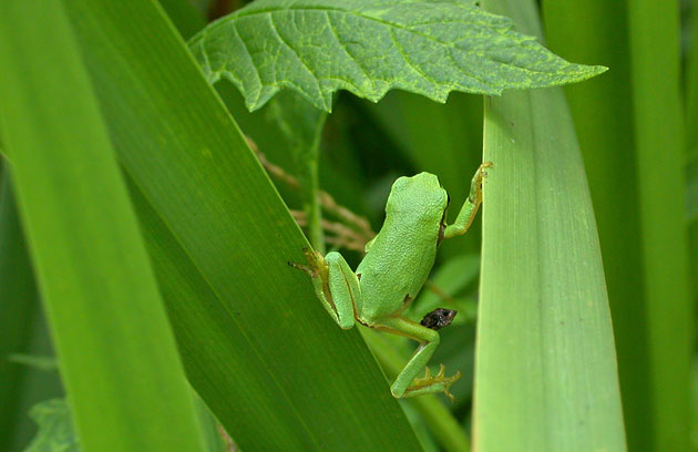 Photo de rainette arboricole, Hyla arborea